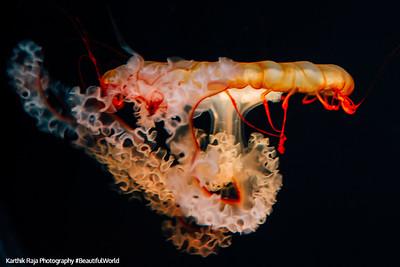 Jellyfish, Audubon Aquarium of the Americas, New Orleans, Louisiana