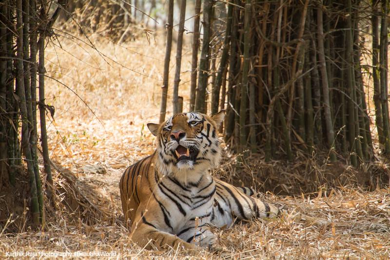 Bengal Tiger, Bannerghata National Park, India