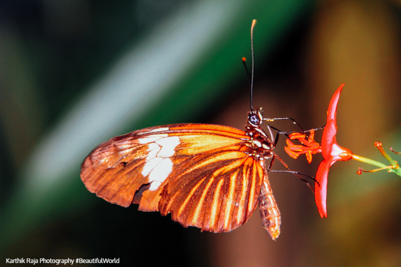 Heliconius erato reductimaculata - Small Postman Male, Key West Butterfly and Nature Conservatory, Florida