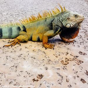 Iguana, Rio Grande, Puerto Rico
