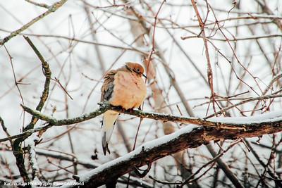 American Pipit, Chicago, IL, Winter