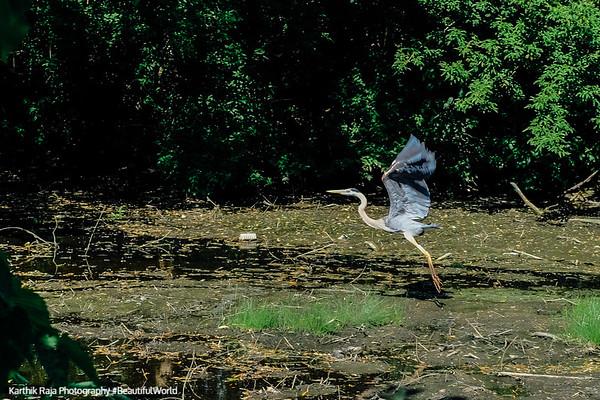Deer Grove Forest Preserve - Heron