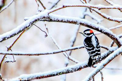 Downy Woodpecker, Winter, Chicago, IL