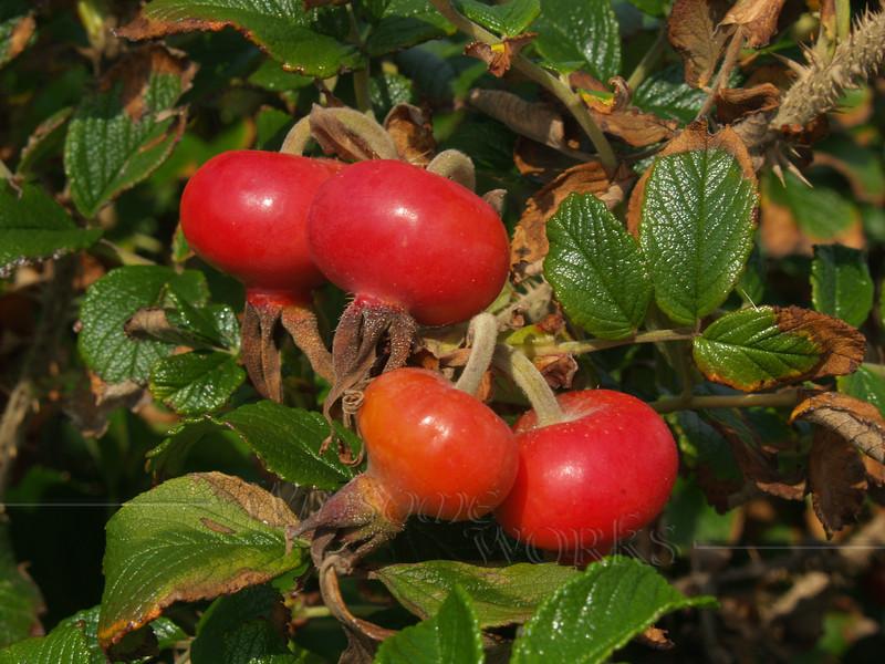 Rugosa rose or Japanese rose (Rosa rugosa)