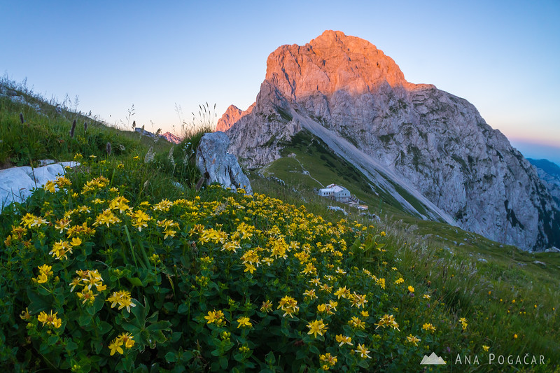 Flowers at the Kamnik Saddle with sunlit Mt. Planjava in the background