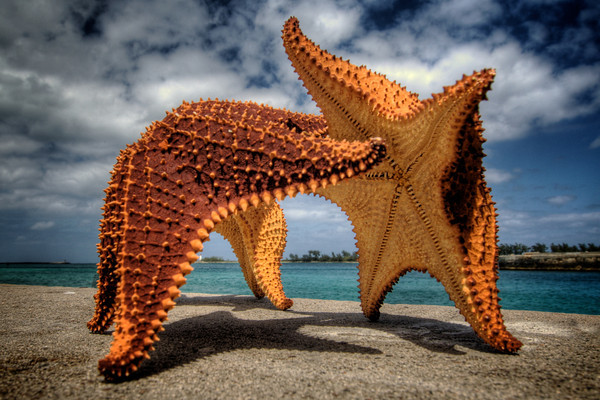 Cushion Sea Star (Oreaster reticulatus)  The largest West Indies starfish, it is sometimes 50 cm (20 inches) across.