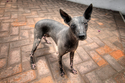 At the Larco Museum.  This is an ancient breed. Although it is often perceived to be an Incan dog because it is known to have been kept during the Inca Empire, they were also kept as pets in pre-Inca cultures from the Peruvian coastal zone.
