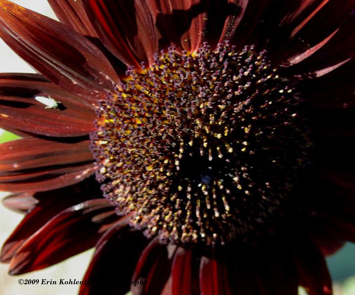 Sunflower macro, from my garden.