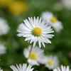 Lawn Daisy