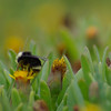 I actually took this with my telephoto lens, a Tamron 75-300mm.  There were bees everywhere on the seabean plants .  Barview State Park, Oregon Coast.  8/15/09