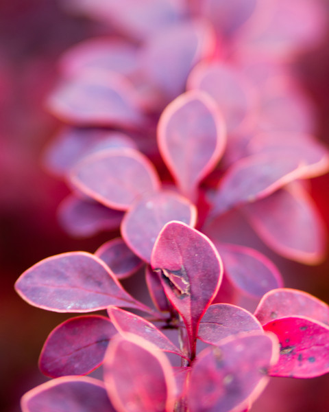 Barberry leaves close up. Imperfect.