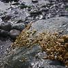 snail eggs on rock, Puget Sound beach.
