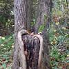 Trunk, Arboretum, November 2008
