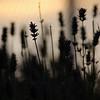 lavender at sunset.