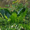 skunk cabbage?