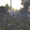 lavender at Soundview Park, Seattle, WA