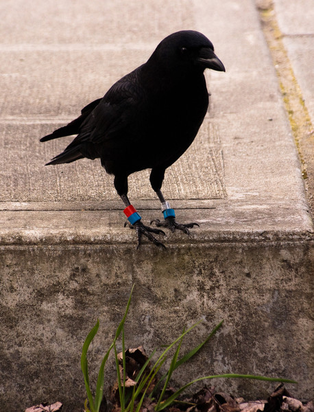 Banded Crow