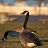Canada Goose (Branta canadensis) acting as lookout for the rest of his flock. Everett, Washington.
