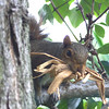 Pine Squirrel with some nesting material