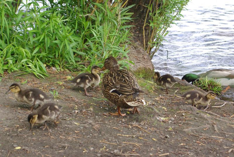 Mallard duck family, Greenlake. Seattle, WA