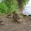 Mallard duck family, Greenlake. Seattle, WA