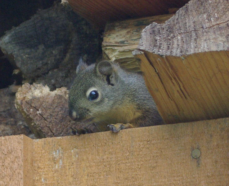squirrel in the woodshed.
