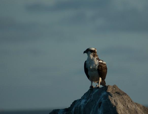 Osprey Waiting