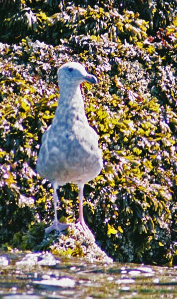 Seagull on Shilshole Jetty.  Actually taken on film, July 2007.