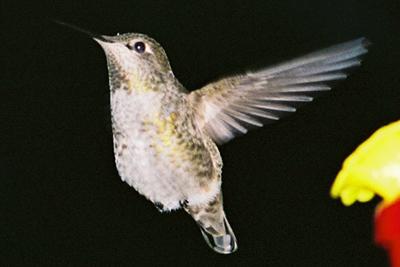 Hummingbird 2007
