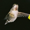 Hummingbird Christmas Day 2007