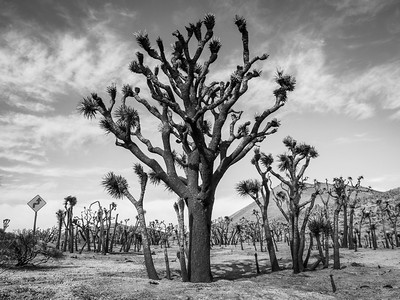 Joshua Trees after the Fire