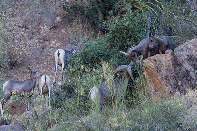 This small group of bighorns was photographed on Canyon Lake, during the annual Arizona Game and Fish Department watchable wildlife event on the Dolly Steamboat sponsored by the Arizona Desert Bighorn Sheep Society.