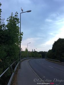 Ein Weißstorch steht auf einem Laternenmast an der B11 in Freising.