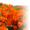 Glama Divider Page of California Poppies