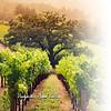 Glama Divider Page of a Napa Valley Vineyard