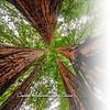 Glama Divider Page of Coastal Redwoods