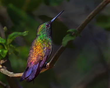 Copper-rumper Hummingbird
