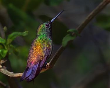 Copper-rumper Hummingbird