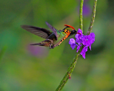 Tufted Coquette, male