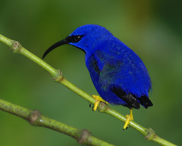 Purple honeycreeper, male. Asa Wright Center, Trinidad