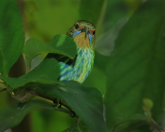 Purple Honeycreeper, female