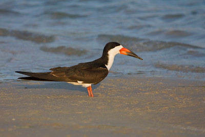Black skimmer stands at the shoreline, Fort De Soto, Florida.