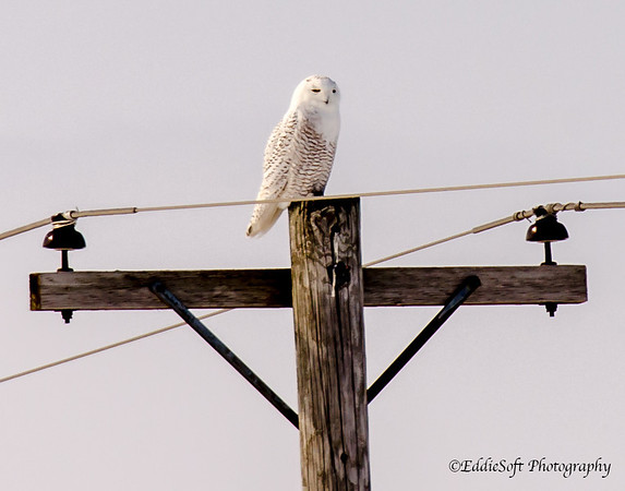 Snowy Owl - Knox County, Illinois - MLD