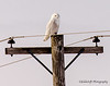 Snowy Owl - Knox County, Illinois - MLD