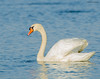 Mute Swan - Banner Marsh, Banner, IL - BJD