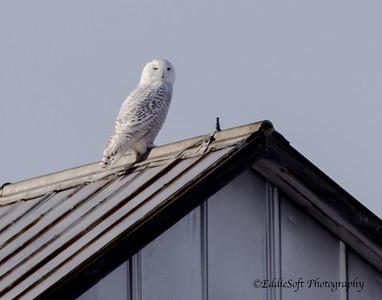 Snowy Owl - Knox County, IL - MLD