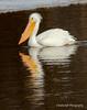 White Pelican - Davenport, IA  - MLD