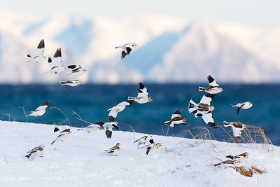 Arcitc migration