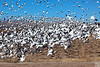 snow geese blast-off, corn field on farm loop