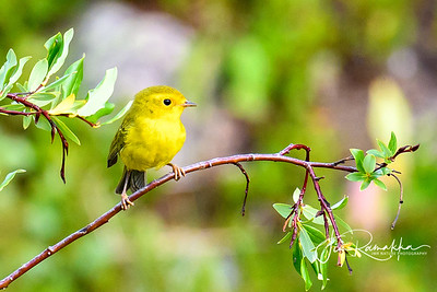 Yellow Warbler - Adult Female